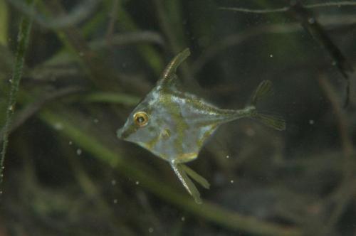36.ギマ幼魚
