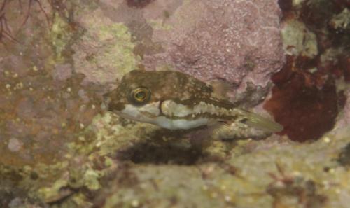 34.キタマクラ幼魚