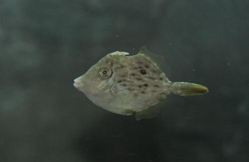 29.カワハギ幼魚