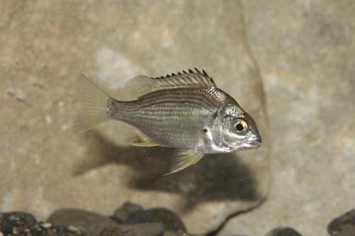 35.キチヌ幼魚(水槽)